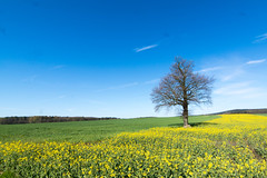 Der Grenzbaum - The tree on the border (ralfkai41) Tags: plants tree green field yellow landscape outdoor natur blossoms pflanze feld rape gelb grn landschaft raps baum blten