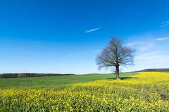 Der Grenzbaum - The tree on the border (ralfkai41) Tags: plants tree green field yellow landscape outdoor natur blossoms pflanze feld rape gelb grn landschaft raps baum blten