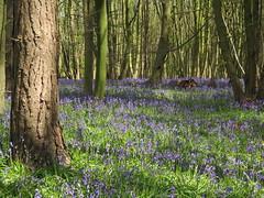 IMG_0195 (Joy Shakespeare) Tags: uk coventry woodlandtrust allesley elkinwood
