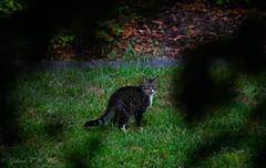 Whisker Alert (Gabriel FW Koch) Tags: orange brown storm green wet face grass cat canon fur eos eyes feline rainyday bokeh gray naturallight whiskers telephoto dos rainy feral