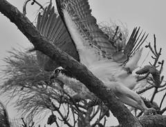 Osprey 4/30/16 (turtlehawk) Tags: family nature fun outdoors wildlife april osprey bethanybeach 2016 bluecoast 043016