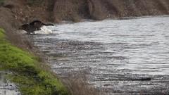 Into the floods (seikinsou) Tags: ireland winter dog tree water puddle video pond flood path germanshepherd alsatian westmeath