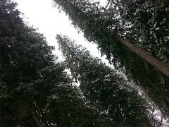 20160131_120016 (ibeardsell) Tags: winter snow britishcolumbia cedars