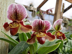 Paphs are taking off now. (cieneguitan) Tags: lan bunga ran orkid paphiopedilum okid angrek anggerek