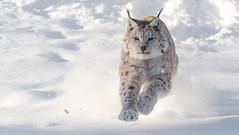 Running after the prey (nemi1968) Tags: winter white snow animal norway speed cat canon outdoor pray january running prey lynx gaupe langedrag markiii catfamily eurasianlynx specanimal specanimalphotooftheday canon5dmarkiii ef70200mmf28liiisusm