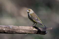 Verdier d'Europe (ventadou2) Tags: carduelischloris europeangreenfinch verdierdeurope fringillids passriformes mazresddoarigefrance
