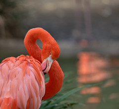 Be a flamingo in a flock of pigeons (YuccaYellow) Tags: pink light red orange lake blur bird nature water pose pond soft pretty bokeh flamingo smooth feather peach sage caribbean graceful silky