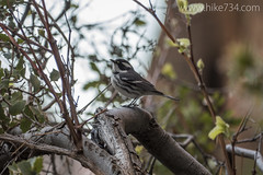 "Black-throated Gray Warbler • <a style=""font-size:0.8em;"" href=""http://www.flickr.com/photos/63501323@N07/24412749440/"" target=""_blank"">View on Flickr</a>"