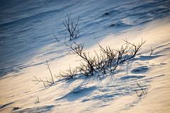 Crashing out with Sylvan (OR_U) Tags: winter white snow tree ice iceland buried oru twigs davidbowie 2016 mimimal