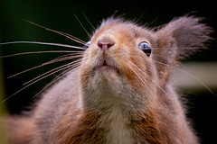 """""""From my point of view"""" (Sean's Wild About Wildlife) Tags: wood uk red tree nature animal woodland mammal outdoors squirrel wildlife rare redsquirrel"""