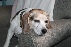Flappy's Tough Life (cseeman) Tags: pets beagle dogs chair tired beat recliner exhausted flappy flapjack tireddog