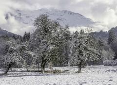 Une fine couche de neige... (a thin layer of snow) (Larch) Tags: winter cloud mountain snow france alps tree forest montagne alpes hiver neige nuage fort hautesavoie morillon