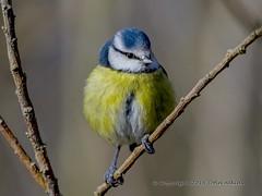 Blue Tit at Nene Park 09/02/16 (johnatkins2008) Tags: camera woodland woods wildlife ferrymeadows gardenbirds wildbirds bluetits nenepark woodlandbirds birdphotography canonphotography eos7d johnatkins2008