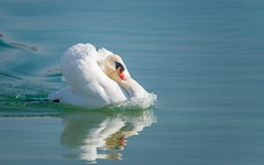 swans (30) (Vlado Ferenčić) Tags: birds animal animals swan lakes croatia swans animalplanet hrvatska nikond600 zaprešić zajarki lakezajarki sigma150500563
