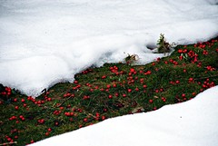 Bær på stien -|- Berries path (erlingsi) Tags: schnee red snow rot rouge moss berry berries volda snø raud mose bær diagaonal