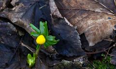 Winter Aconite. (foggybummer (Keith)) Tags: winter flower yellow aconite leaflitter ladyaugustaswalk