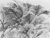 Upwards (SopheNic (DavidSenaPhoto)) Tags: trees blackandwhite bw snow monochrome iso200 snowstorm 35mmfilm hp5 ilford selfdeveloped id1111 canonelan7e pullprocessed bwfp