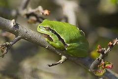 Common Tree Frog (Hyla arborea) (macronyx) Tags: nature wildlife amphibian frog amphibians treefrog hyla groda hylaarborea commontreefrog lövgroda groddjur