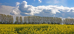 the yellow field (yorkiemimi) Tags: trees sky cloud nature field rural germany landscape scenery dömitz