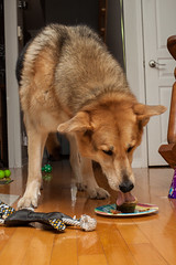 Buster's 10th birthday 3 (Atrum Lupus) Tags: birthday dog chien cake mutt mix 10 cupcake ten buster fte germanshepherd anniversaire dix gteau 10ans bergerallemand crois