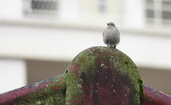 Rouge queue noire femelle / redstart female / Hausrotschwanz (BPBP42) Tags: bird animal oiseau vogel