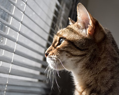 watchful (marianna armata) Tags: light brown window cat gold feline shadows stripes watching profile jazz blinds vero bengal p2070915