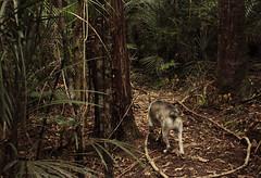 IMG_1455 (familynotblood) Tags: trees newzealand dog tree dogs nature forest bush nz bushwalk dogphotography