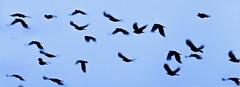 Islay-1327 (image_less_ordinary) Tags: scotland islay chough ardnave southernhebrides