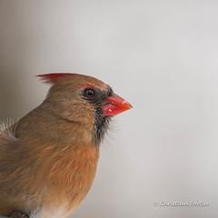 Cardinal femelle - 2 (fortinchristian) Tags: cardinal hiver oiseaux mangeoire cardinalfemelle cardinalids
