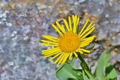Arnica montana. (Svitlana Clover) Tags: summer mountain flower green yellow petals gray arnica thebestyellow sonynex6