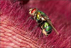 Diptera on Stapelia hirsuta (Nightgoose) Tags: fly mosca arthropod diptera stapelia artrpode canonmpe65mmf28 exposurex canoneost5i captureone9