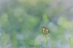 Butterfly's Dream (satochappy) Tags: macro green nature leaves yard butterfly garden insect bokeh australia dreamy      lycaenidae