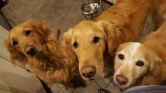 Trying to eat with a pack of wild Goldens ready to attack / Nashville, Tennessee (Wander Gal) Tags: dog nashville dogwalker