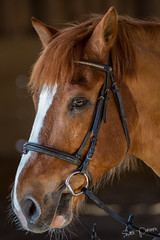 Horse Portrait (SPPhotography_Finland) Tags: portrait horse training canon finland photography 300mm porvoo 2016 primelens canonllens amateurphotography horsephotography 5dmkiii