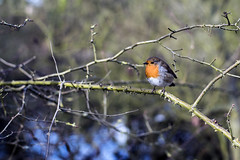 Robin (Steve Millward) Tags: tree bird nature robin easter season 50mm spring nikon branch bokeh outdoor attenborough d750 goodfriday 2016