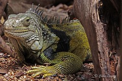 green iguana2 (iguana iguana) (Colin Pacitti) Tags: closeup reptile ngc iguana iguanaiguana greeniguana coth specanimal coth5 hennysanimals sunrays5