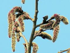 Espe, Aspe oder Zitterpappel (Populus tremula) (HITSCHKO) Tags: espe aspe populus pappeln populustremula salicaceae zitterpappel weidengewchse pionierbaumart