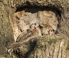 Check out the Roof of this Owl's mouth. (MiriamPoling) Tags: baby mouth great yawn owl passage nasal horned