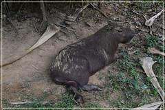 Cabia (ou le Seigneur des herbes) (gillyan9) Tags: animal carpincho capybara mammifre capibara lapa seigneur guyane palm capiguara chigiro cabia rosonco sapivara