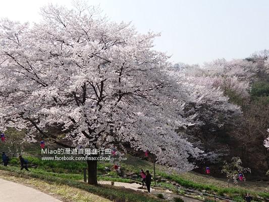 안산공원벚꽃19