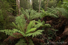 Cape Otway Cool Temperate Rainforest (Jules Farquhar.) Tags: nature landscape victoria ferntree capeotway cooltemperaterainforest julesfarquhar