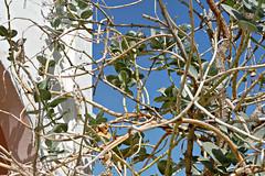 Sodom's Apple Milkweed with Sparrow (tinlight7) Tags: bird village uae sparrow apocynaceae milkweed plantae housesparrow ummalquwain magnoliophyta magnoliopsida calotropisprocera appleofsodom calotropis gentianales giantmilkweed asclepiadoideae tracheophyta taxonomy:class=magnoliopsida sodomsapple taxonomy:kingdom=plantae taxonomy:subfamily=asclepiadoideae taxonomy:family=apocynaceae roostertree taxonomy:phylum=magnoliophyta taxonomy:order=gentianales taxonomy:species=procera taxonomy:binomial=calotropisprocera taxonomy:common=appleofsodom taxonomy:superphylum=tracheophyta bombardeira  algodoeirodeseda rosaseda taxonomy:common=giantmilkweed taxonomy:common= taxonomy:common=roostertree taxonomy:common=bombardeira taxonomy:common=algodoeirodeseda taxonomy:common=rosaseda taxonomy:genus=calotropis biyati