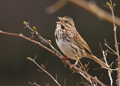 Song Sparrow (Melospiza melodia) (Gavin Edmondstone) Tags: ontario oakville songsparrow melospizamelodia olympus300mmf40isproedmzuiko