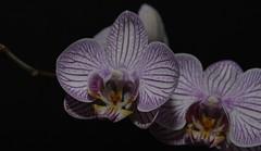 Phalaenopsis Orchid  (45) (John Carson Essex) Tags: thegalaxy supersix rainbowofnature thegalaxystars