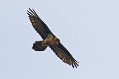 Bearded Vulture (keynowski) Tags: ngc animalplanet canonef400mmf56lusm beardedvulture gypaetusbarbatus canon70d sakallakbaba