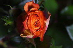 DSC_0858 Rose (PeaTJay) Tags: flowers roses plants macro nature rose gardens fauna reading flora sigma indoors micro closeups berkshire rosebuds lowerearley nikond750