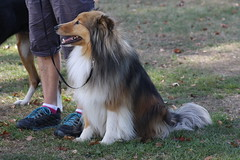Archie (ambodavenz) Tags: new dog south sheltie sheepdog canterbury zealand timaru shetland