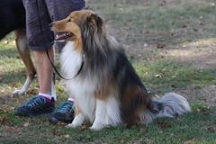 Archie (ambodavenz) Tags: new dog south sheltie sheepdog canterbury zealand timaru shetland