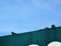 Birds on the Bunnings signboard! (RS 1990) Tags: shoppingcentre april adelaide former thursday southaustralia lloyds bunnings 28th 2016 windsorgardens