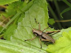Pholidoptera griseoaptera (Tim Worfolk) Tags: tettigoniidae topsham bushcricket pholidopteragriseoaptera darkbushcricket